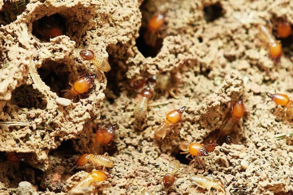 diagnostic termites maison