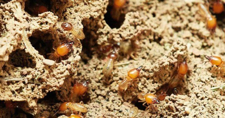Diagnostic termites : garantir un achat en toute sérénité