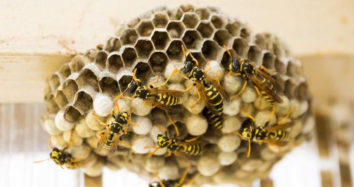 Essaim d'abeilles, guêpes, frelons : Qui doit payer pour s'en débarrasser, le locataire ou le propriétaire ?